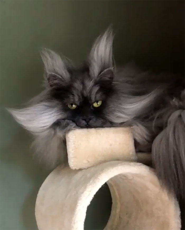 Meet-Juno-The-Cat-With-Better-Hair-Than-All-of-Us-5d19be701f72d__700