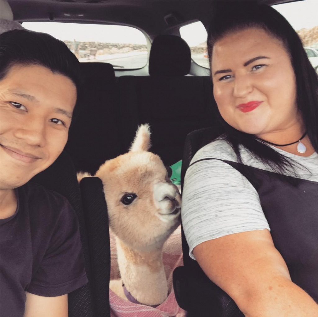 alfie_the_alpaca_in_adelaide_54218292_1184360391723609_7739121980515378574_n