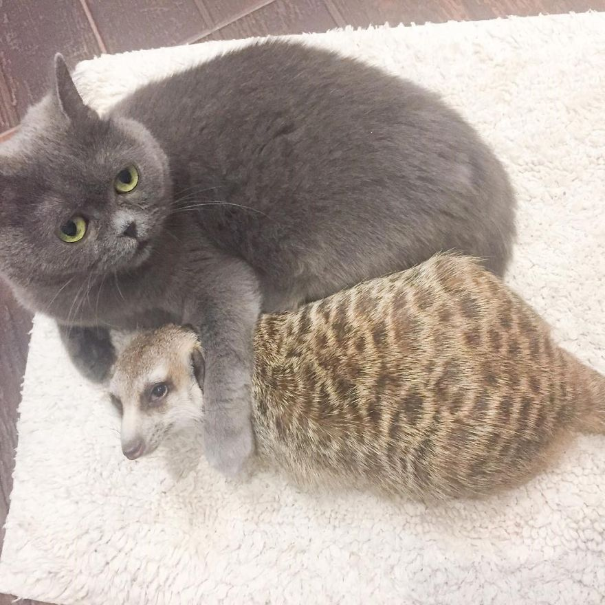 Meet-Meerkat-and-a-St-Petersburg-cat-who-have-been-friends-since-the-first-days-they-met-and-now-conquer-the-internet-5e219f349ba4f__880