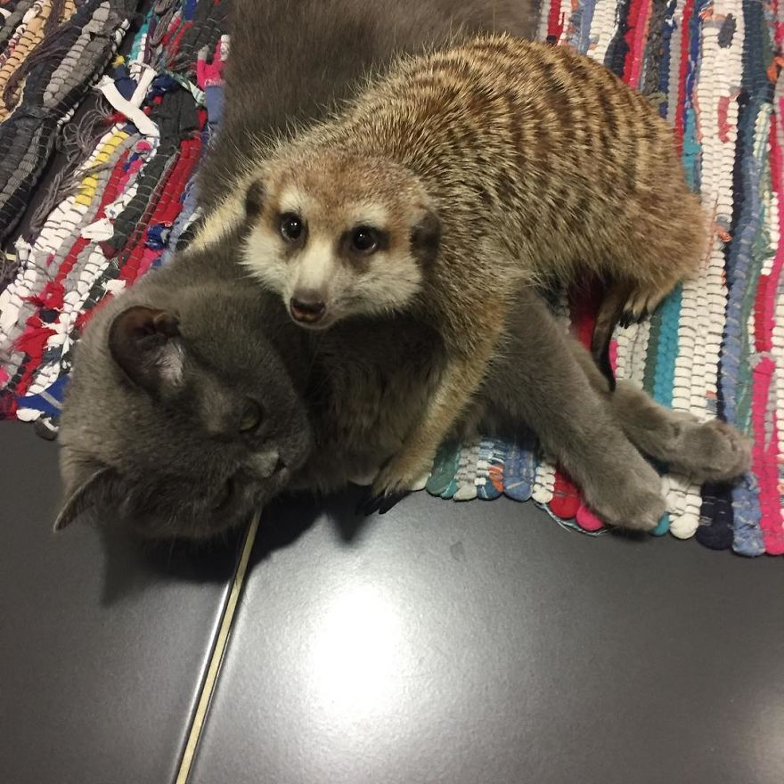 Meet-Meerkat-and-a-St-Petersburg-cat-who-have-been-friends-since-the-first-days-they-met-and-now-conquer-the-internet-5e219f5686a22__880