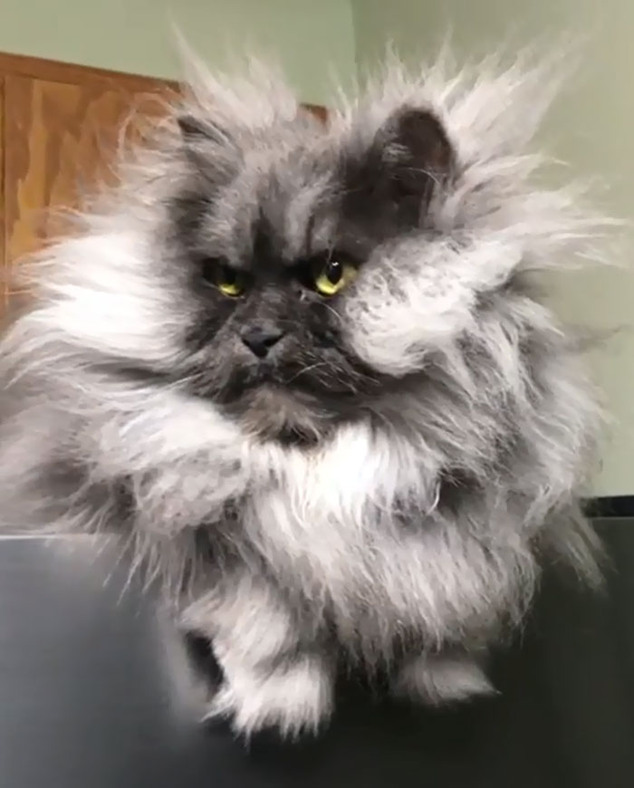 Meet-Juno-The-Cat-With-Better-Hair-Than-All-of-Us-5d19c472050dd__700