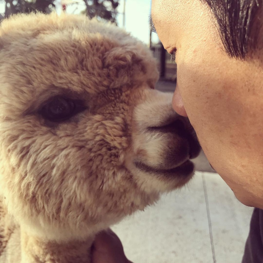 alfie_the_alpaca_in_adelaide_54277413_160566058277664_3570233010119208737_n