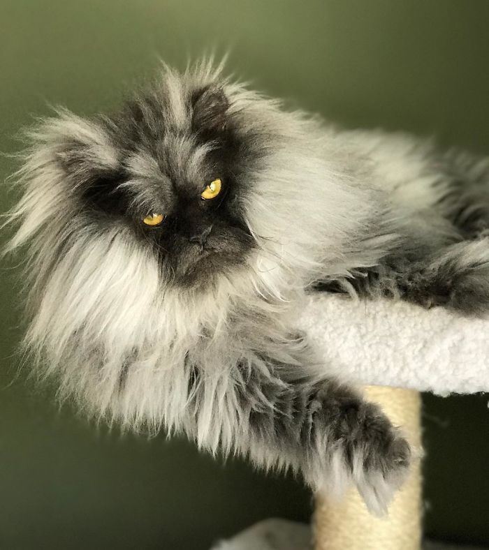 Meet-Juno-The-Cat-With-Better-Hair-Than-All-of-Us-5d19bc01bdf44__700