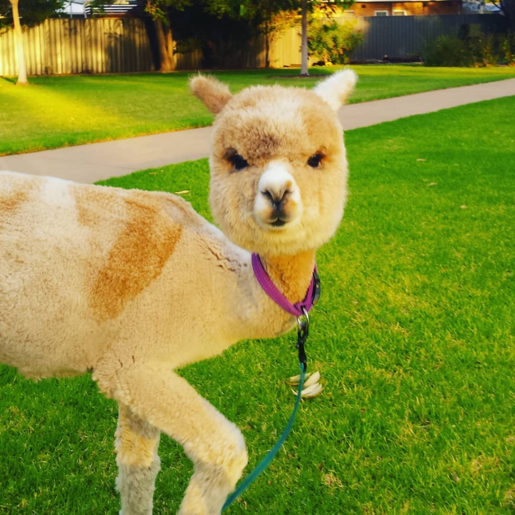 alfie_the_alpaca_in_adelaide_54247670_2336467489898933_234762586841239149_n
