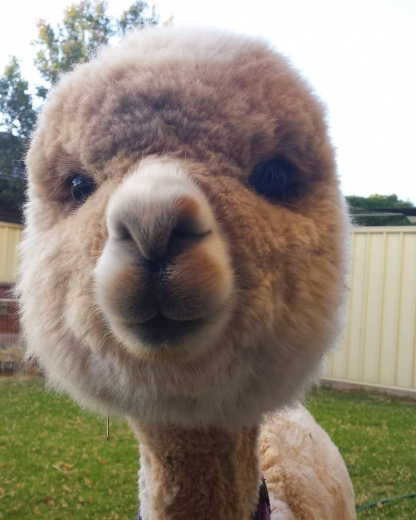 alfie_the_alpaca_in_adelaide_53379967_508158846378553_3489138986766839726_n