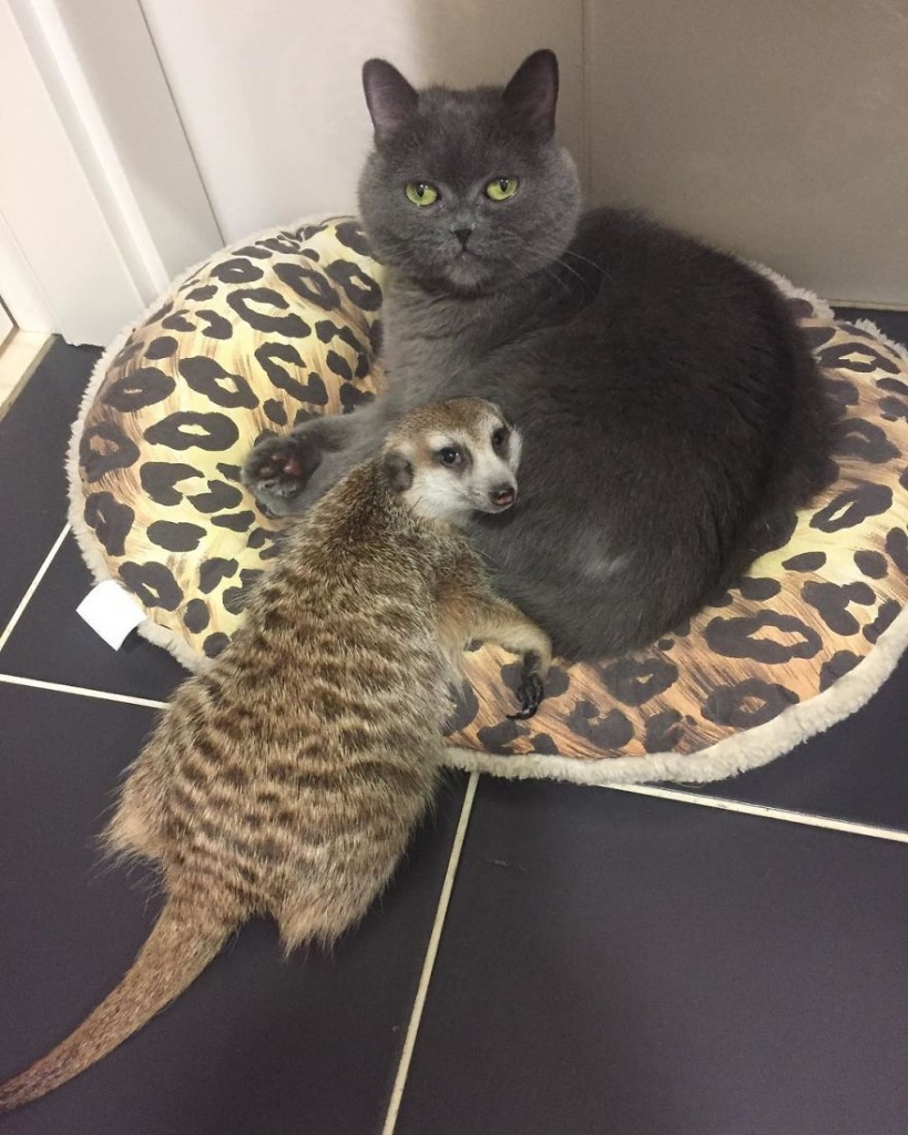 Meet-Meerkat-and-a-St-Petersburg-cat-who-have-been-friends-since-the-first-days-they-met-and-now-conquer-the-internet-5e219f3220ce2__880
