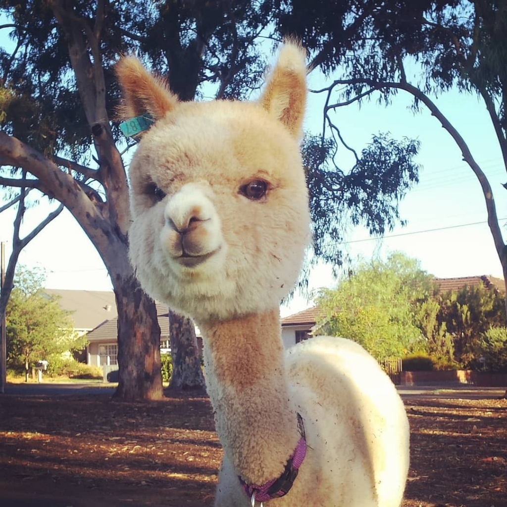 alfie_the_alpaca_in_adelaide_54230491_124511198666864_3845974082624650172_n