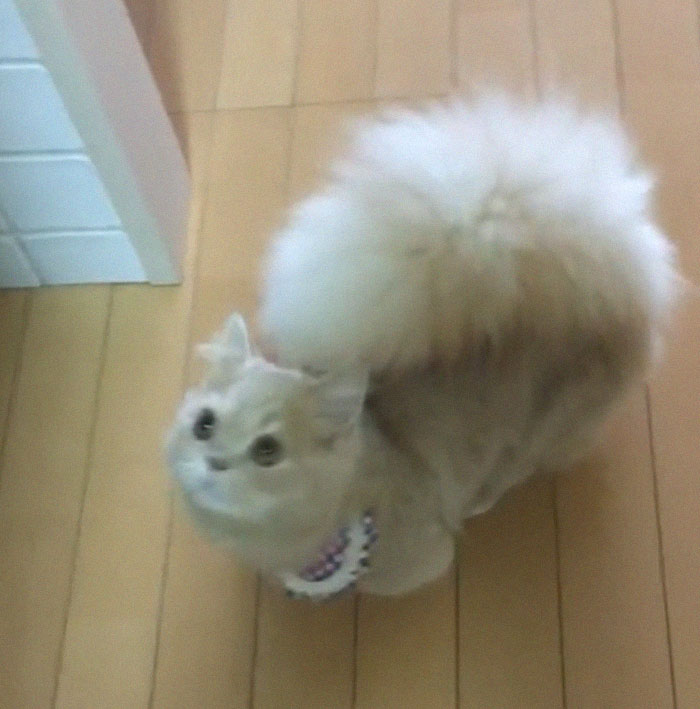 cat-fluffy-squirrel-tail-bell-6-5dca63b605cf1__700